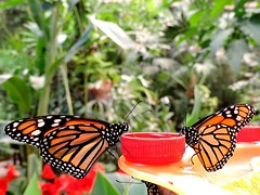 "Monarch butterflies  .....  ""Mariposario del Drago""  ..... Icod de Los Vinos (jac hendrix) Tags: butterfly insects tenerife mariposa spanje vlinders mariposario vlindertuin icoddelosvinos canarischeeilanden 2013 monarchvlinder"