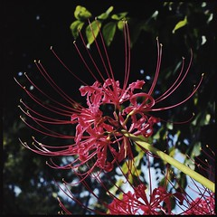 Color of lifeRed  (HASSELBLAD 500C/M) (potopoto53age) Tags: life flowers red plant flower color tree 6x6 film apple up look japan zeiss photoshop mediumformat square aperture lily kodak tube lookup hasselblad adobe squareformat carl  epson extension f28 redflower lycorisradiata yamanashi planar higanbana kofu extensiontube   80mm 500cm hassel hasselblad500cm appleaperture portra160 nont  redspiderlily manjyusyage  cs6 kodakportra160  epsongtx970 gtx970 potopoto53age awesomeblossoms betterscanning mygearandme adobephotoshopcs5 dualmffilmholder betterscanningdualmffilmholder carlzeissplanar80mmf28nont coloroflifered