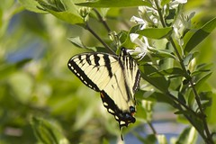 Swallowtail (Henry McLin) Tags: