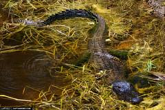 Mother-Alligator-Protecting-Baby-Gators-in-Florida-Water (Captain Kimo) Tags: canal florida reptile alligator gators swamp wetlands jupiter babygator riverbendpark mothergator