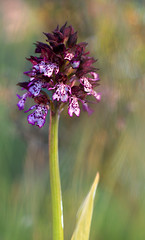 Orchis Purpurea (TRUCO...) Tags:
