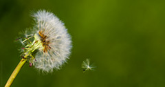 Drifting Away // 22 05 13 (Manadh) Tags: macro wind bokeh may seed blowing dandelion dandelionseeds dandelionseed project365 142365 manadh