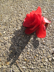 FALLEN (hapsnaps) Tags: flowers red plants spring hampshire fallen camellia southampton fallensoldier oneword 2013 flowrpowr southamptonuk hapsnaps 113picturesin2013 2013may11