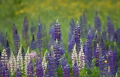 Lupines in a Field (hessamt) Tags: pink white color nature june rainyday cloudy alpine purpleflower lupine earlysummer oldtownmaine canonef100400mmf4556l samhess canoneosrebelt1i