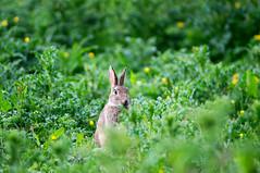 Watchful Rabbit