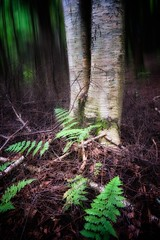 Au fond de soi/Deep within ourself/En el fundo de si mismo (Elf-8) Tags: fern tree forest secret birch