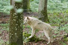 Arctic wolf (Martijn Nijenhuis) Tags: white snow germany und nikon wolf adler arctic martijn duitsland witte kasselburg nijenhuis d90 pelm wolfspark afsnikkor70200mmf28gedvrii