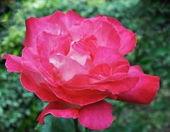 pink and white rose (littlestschnauzer) Tags: uk pink flowers roses summer white west flower colour detail nature rose garden petals nikon yorkshire centre deep july petal summertime colourful emley 2013 my d5000 elementsorganizer11