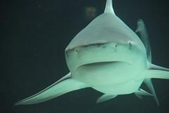 SqualoAcquario01 (Creativit Random) Tags: animals japan shark okinawa giappone animali squalo