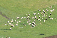 Alpage 2 (Juilllet 2013) (Ostrevents) Tags: france nature ecology field grass montagne europa europe sheep altitude flock tradition economy mutton montain verdure herbe pyrénées herbage atlantique monton brebis écologie aquitaine chn alpage troupeau pyrénéesatlantique économie ostrevents