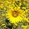 30C & Rising (Adam Swaine) Tags: county uk flowers england macro green london english nature beautiful yellow canon landscape photography flora britain sunflowers counties peckhamrye naturelovers naturesfinest londonparks 24105mm swaine 2013 naturewatcher thebestyellow adamswaine peckehamryepark mostbeautifulpicturesmbppictures wwwadamswainecouk londonmeadows