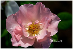 Country Song Rose (John H Bowman) Tags: pink flowers roses virginia parks july flowersandplants henricocounty lewisginterbotanicalgarden 2013 localparks july2013 canon100lmacro countrysongrose