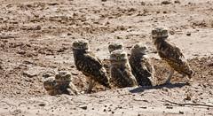 Burrowing Owls (Athene cunicularia); Belen Wetlands, NM [Lou Feltz] (deserttoad) Tags: newmexico bird nature desert young raptor owl wildbird