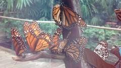 08252013-53 (machu picchu) Tags: butterfly sandiego sandiegozoo dlused safaripark sandiegozoosafaripark