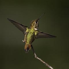 Rufous Hummingbird (Eric Gofreed) Tags: hummingbird ngc sedona npc mybackyard villageofoakcreek rufoushummingbird yavapaicounty avianexcellence slicesoftime