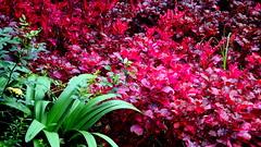 PLANTAS DE  AMARANTO MORADAS, ESTN DEMORADAS EN EL JARDN DE LA CASA AZUL. (FOTOS PARA PASAR EL RATO) Tags: mxico plantas fridakahlo morado