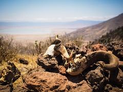 Skulls & Bones (desai82) Tags: africa tanzania skull olympus safari ngorongoro crater ep5