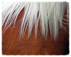 Argent et Cuivre (Vasnic64) Tags: cheval 65 chevaux vasse percheron cavalerie aucun hautepyrnes nv65