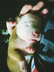 Little puppy (laurw) Tags: cute puppy pitbull cachorro uploaded:by=flickrmobile dublinfilter flickriosapp:filter=dublin