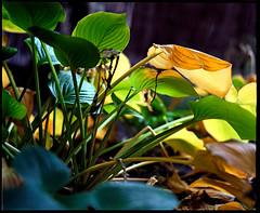 autumn colours (manni39) Tags: autumn mamiya film rural vintage mediumformat garden countryside fuji superia herbst vintagecamera 6x7 garten rollfilm fujisuperiaxtra400 rb67 lndlich sekor mittelformat moyenformat mamiyasekor mamiyasekor127mm38