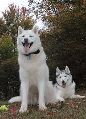 husky huskies siberianhusky quinnanddeacon
