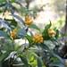黄色い実のセンリョウ