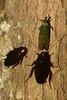 Inter-bug Relations (antonsrkn) Tags: wild macro nature bug insects malaysia borneo roach sabah cockroach arthropoda invert invertebrate arthropod symbiosis hemipteran blattaria dvfc blattodea commensalism lanternbug fulgoridae mutualism pyropswhiteheadi