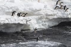 Antarctica - Day Two0216 (GLRPhotography) Tags: penguin antarctica adelie 100400 gourdin