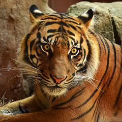Sumatran Tiger #4 (Sezzypants) Tags: portrait face eyes tiger sydney young australia sumatrantiger alert tarongazoo flickrbigcats