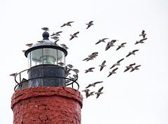 Gulls (SamKirk9) Tags: patagonia lighthouse beagle southamerica argentina tierradelfuego ushuaia islands wildlife endoftheworld beaglechannel tresmarias findelmundo leseclaireurs landoffire tresmariasexcursions