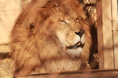 Shakka (Chicago John) Tags: world park cats oregon great lion junction cave cavejunction greatcatsworldpark