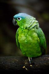 bird birds del mexico amazon pentax sigma parrot playa apo 400 parakeet aviary ha f56 captive carmen roo k5 quintana bluecrowned playacar aviario mealy xamanha xaman