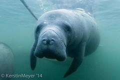 curious manatee (kerstin_meyer) Tags: usa canon river mammal eos marine underwater florida crystal manatee 7d marinemammal unterwasser seekuh