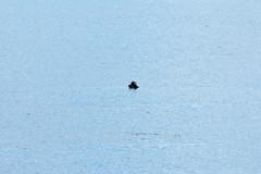 _MG_3951a (markbyzewski) Tags: alaska ugly seaotter glacierbaynationalpark