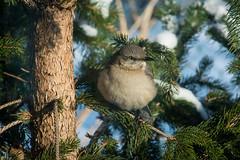 Northern Mockingbird-6881 (RG Rutkay) Tags: winter urban toronto bird home northern mockingbird