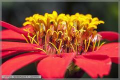 Flower details (Robinson T Cunha) Tags: nikon autofocus doublefantasy photosandcalendar awesomeblossoms ringexcellence