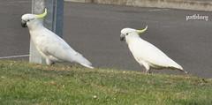 A Cockatoos at Warilla South Coast of New South Wales (pat.bluey) Tags: birds australia newsouthwales cockatoos littlelake warilla flickraward hganimalsonly hg~sb hennysanimals sunrays5