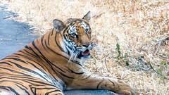 (webcrunch) Tags: sony tiger bangalore bengaltiger tamron70300 sonya57