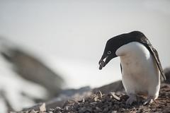 Antarctica 215 (Morten Skovgaard) Tags: travel snow cold ice expedition nature animals penguin penguins wildlife antarctica adventure seal seals iceberg zodiac polar rare plancius southpole antarktis sydpolen mortenskovgaard oceanwideexpeditions godknd