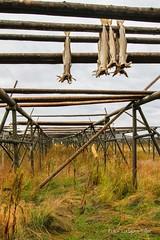 Trrfisk fra Loften (Torbjrn Tiller) Tags: lofoten stockfish ballstad trrfisk fiskehjell