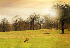Lone Stag in Dying Light (Jan 130) Tags: uk england ngc deer npc reddeer richmondpark richmonduponthames londonboroughofrichmond vision:mountain=0573 vision:text=0556 vision:sunset=0607
