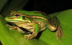 Green and Golden Bell Frog (Litoria aurea) (Heleioporus) Tags: new green wales golden bell south sydney frog aurea litoria