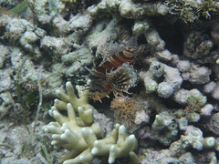bunaken - manado-466 (walter5390) Tags: fish indonesia underwater nemo clown puffer seaworld fishes lionfish sulawesi seastar tridacna bunaken sulawesisettentrionale