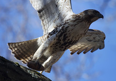 Red Tail - Carrying A Pine Cone (??) (hbp_pix) Tags: red cemetery mt hawk auburn raptor tailed hbppix