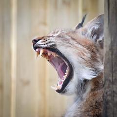 YAWN !! (simiansmythe) Tags: cat mouth teeth yawn short april lynx
