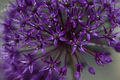A mass of splendid purple stars (IanAWood) Tags: mygarden rickmansworth flowermacro flowercloseups flowersofspring alliumpurplesensation walkingwithmynikon nikond800e nikkorsfsmicro105mmf28gvr