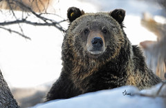 Spring Grizzly - 2279b+ (teagden) Tags: wild snow closeup forest photography spring woods nikon wildlife grizzly griz springtime grizz grizzlybear 2014 wildlifephotography jenniferhall jenhall jenhallphotography