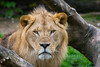 King of beasts (christianschmaler) Tags: alemdagqualityonlyclub