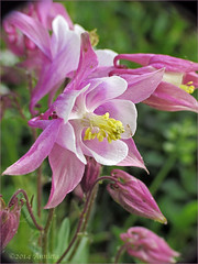 Aquilegia vulgaris (Annieta  - home, catching up soon...) Tags: flower holland nature netherlands fleur canon garden flora ngc nederland jardin natuur powershot april columbine tuin polder allrightsreserved bloem 2014 krimpenerwaard akelei ancolie coth annieta abigfave coth5 usingthisphotowithoutpermissionisillegal sx30is