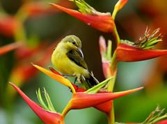 Olive-backed Sunbird juvenile---- (Nectarinia jugularis) (creaturesnapper) Tags: sunbirds birds asia singapore olivebackedsunbird juvenile nectariniajugularis flickrbirds
